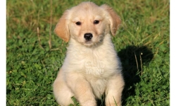 Golden Retriever yavru köpek